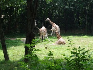 Giraffes at The Bronx Zoo